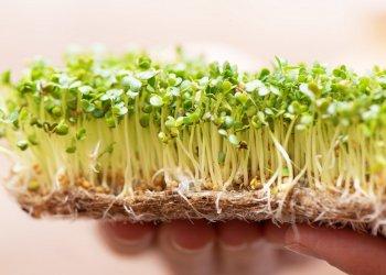 Микрозелень: что это такое, польза и правила выращивания