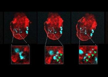 Эмбрион способен избавляться от нездоровых клеток своего организма