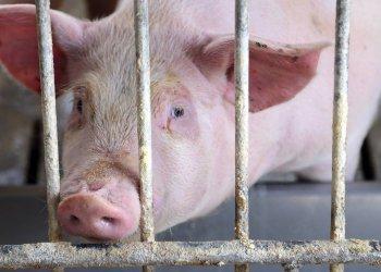 Свиньи помогут ученым найти путь к спасению пациентов, нуждающихся в новой печени