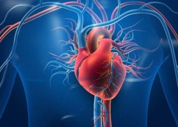 Впервые создан атлас клеток сердца человека