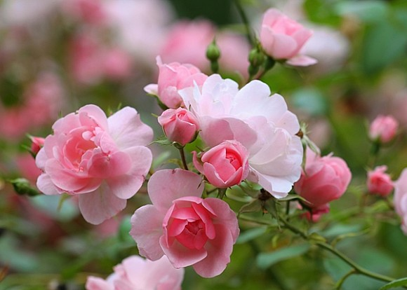 Роза чайная картинка